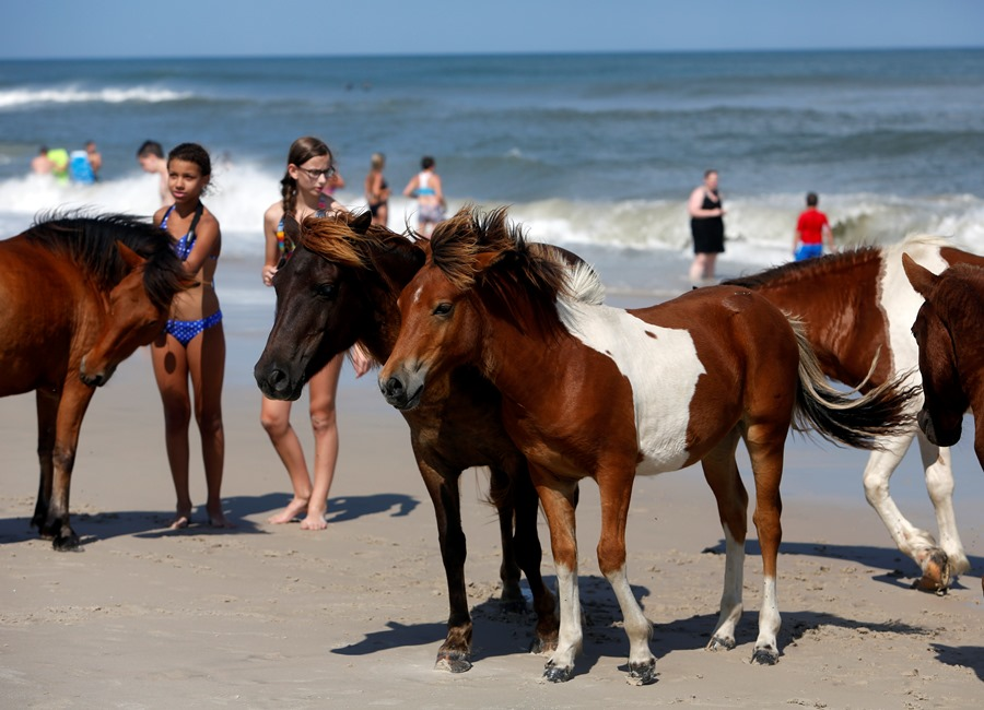 Wild horses roam on South Ocean Beach at Assateague Island National Seashore near Berlin, Md. (AP Photo/Jacqueline Larma)