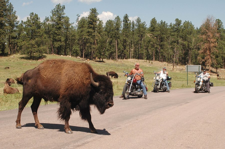 Waiting for bison to cross at Custer State Park near Custer, S.D. (AP Photo/Doug Dreyer)