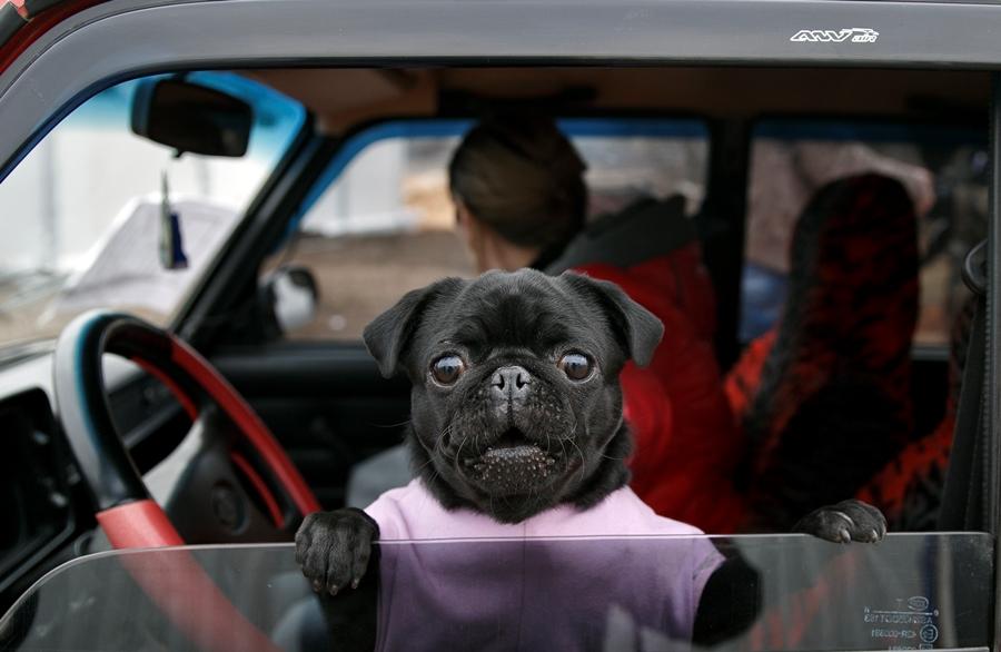 Dog in car (photo: AP)