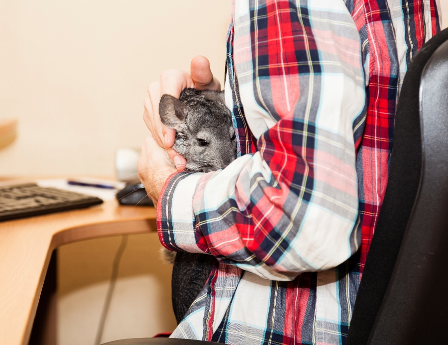 Employee with chinchilla (photo: Getty)