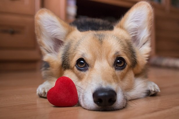 Pembroke Welsh Corgi dog with stuffed heart by its paws
