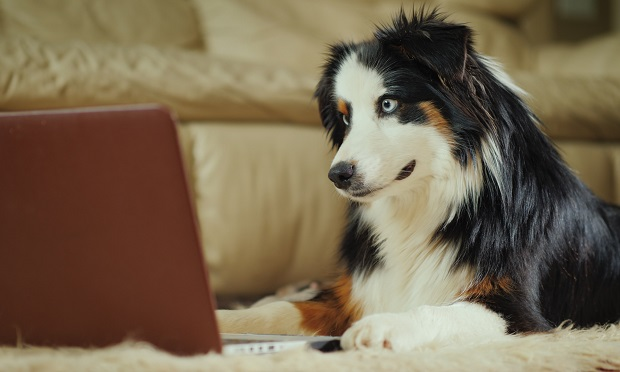 Dog looking at laptop screen