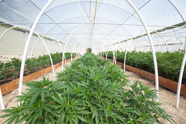 large commercial greenhouse growing marijuana plants
