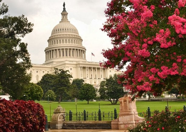 U.S. capitol building seen with flowering spring bushes