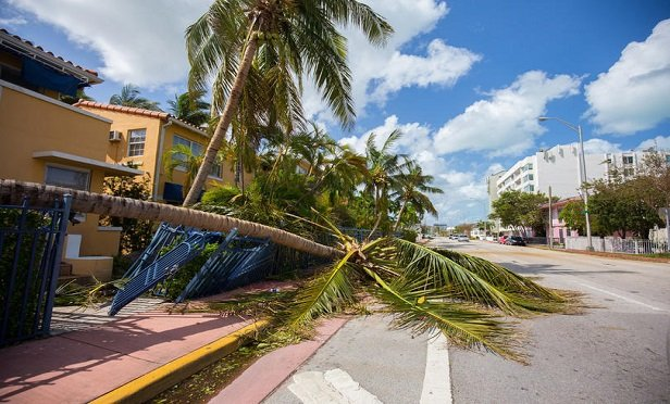 Palm trees stand battered in Miami Beach, Fla., after Hurricane Irma. (Credit: Mia2you/Shutterstock)